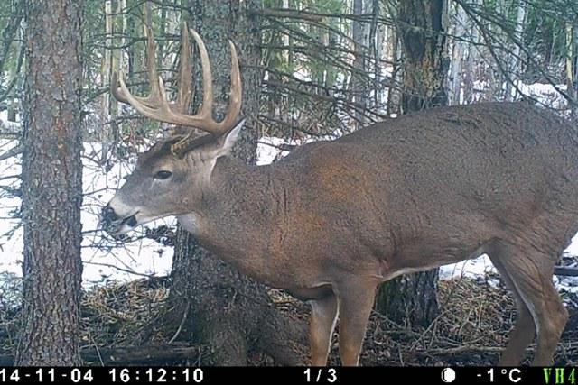 Alberta Whitetail Deer Hunting